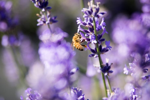 Westside Homeowners The Many Uses of Lavender In The Home