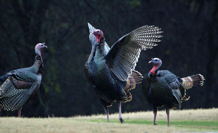 Turkeys, Deer and other wildlife abound in White Bluff