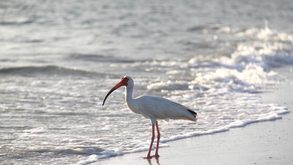 ibis fishing on the beach
