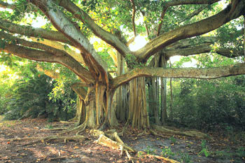 Holmes Beach photographer Craig Litten has published a book of photos on Anna Maria Island subjects, including this banyan tree PHOTOS/CRAIG LITTEN