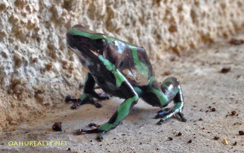 hawaii dart frog