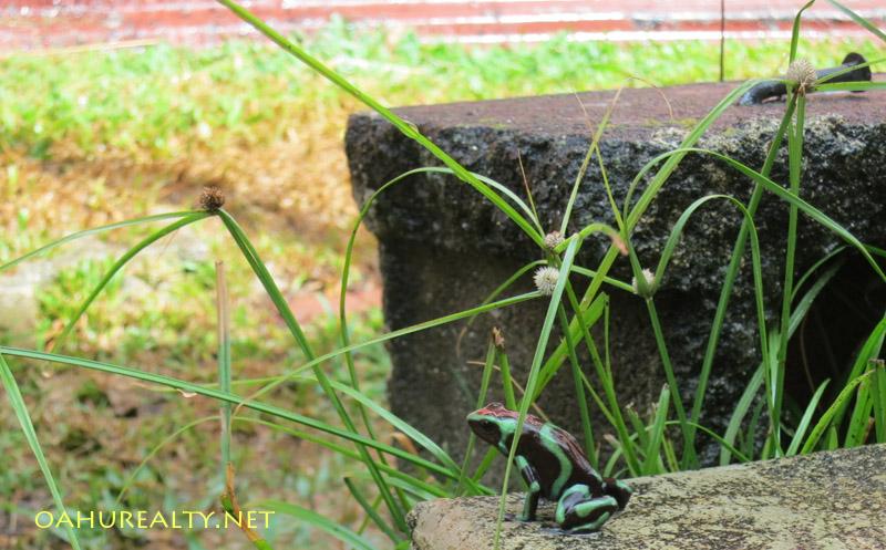 poison dart frog palolo and manoa