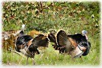turkeys200
