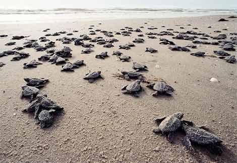 baby turtles hatching on Anna Maria Island