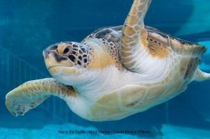 Sea Turtles on Anna Maria Island