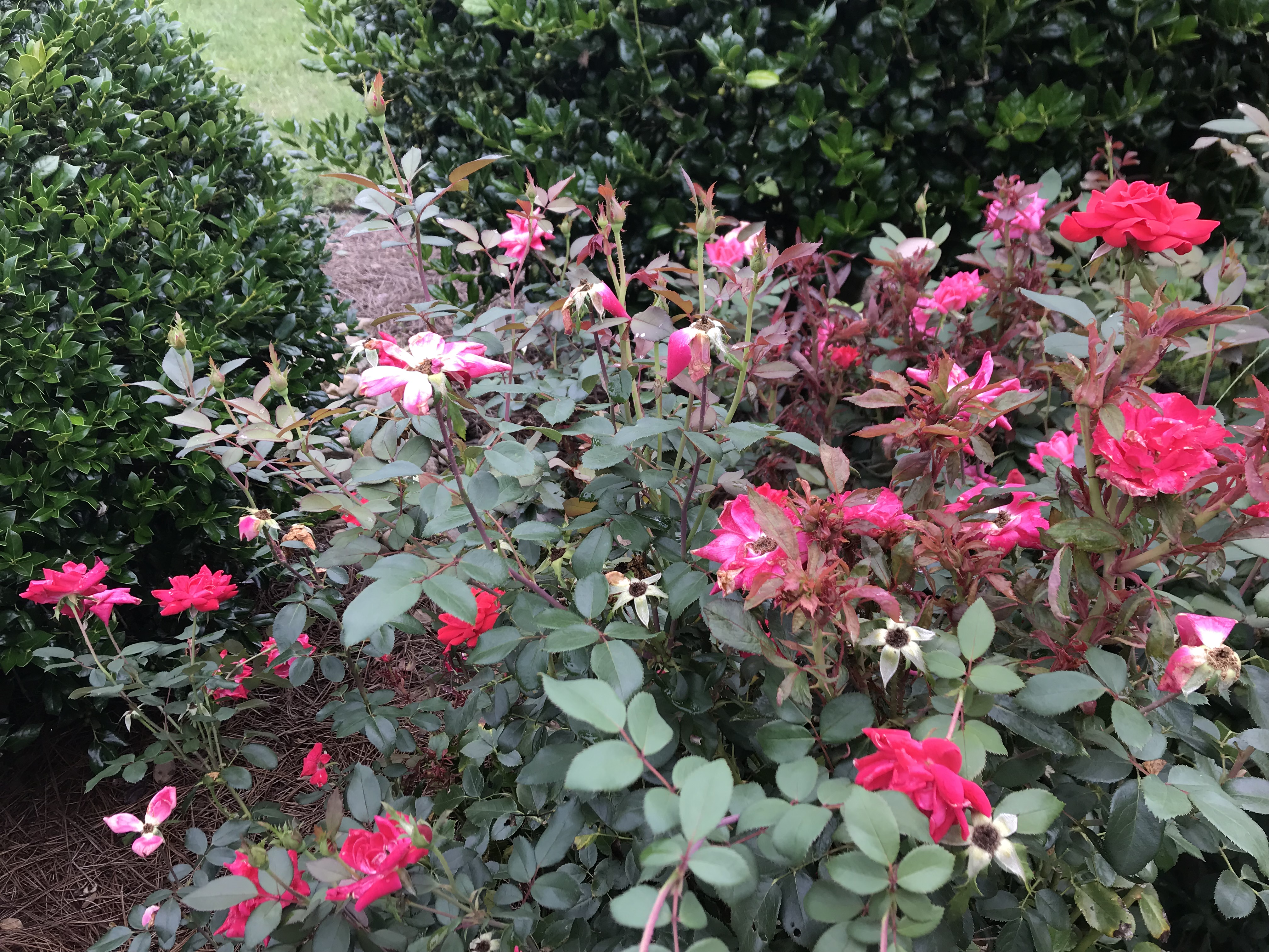 What S Happening To My Knockout Roses Breedlove Farm S Estate S Land Julie Breedlove Statesville Piedmont Nc 704 528 5575