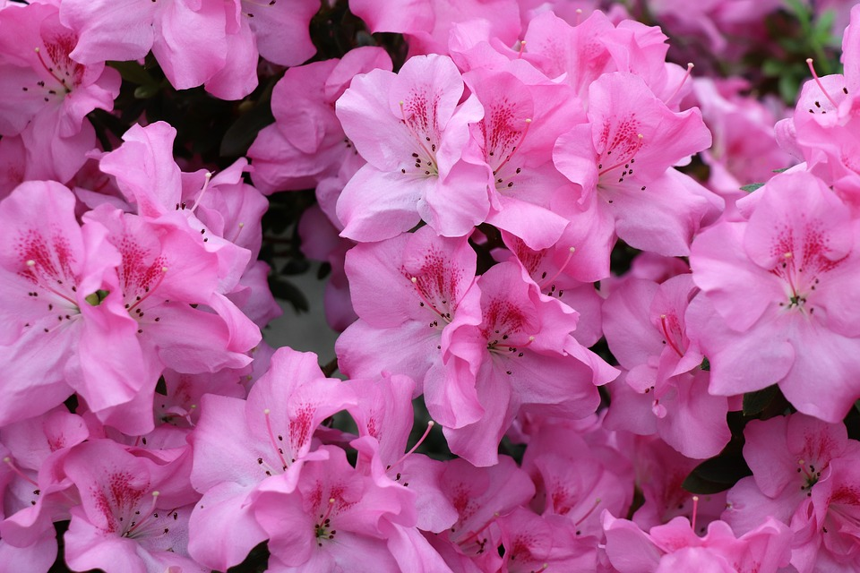 Azalea blooms in Azalea Park, Summerville, SC