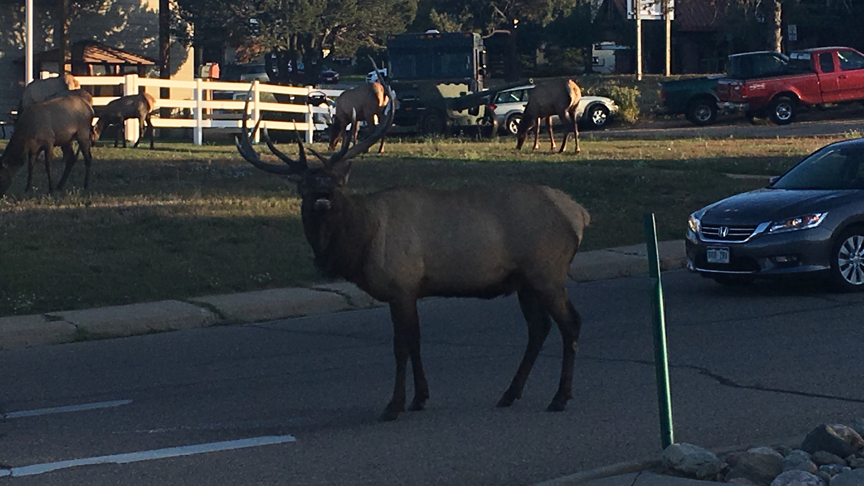 Elk Crossing in daylight in Estes Park