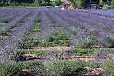 Single Family Home For Sale: Purple Adobe Lavender Farm