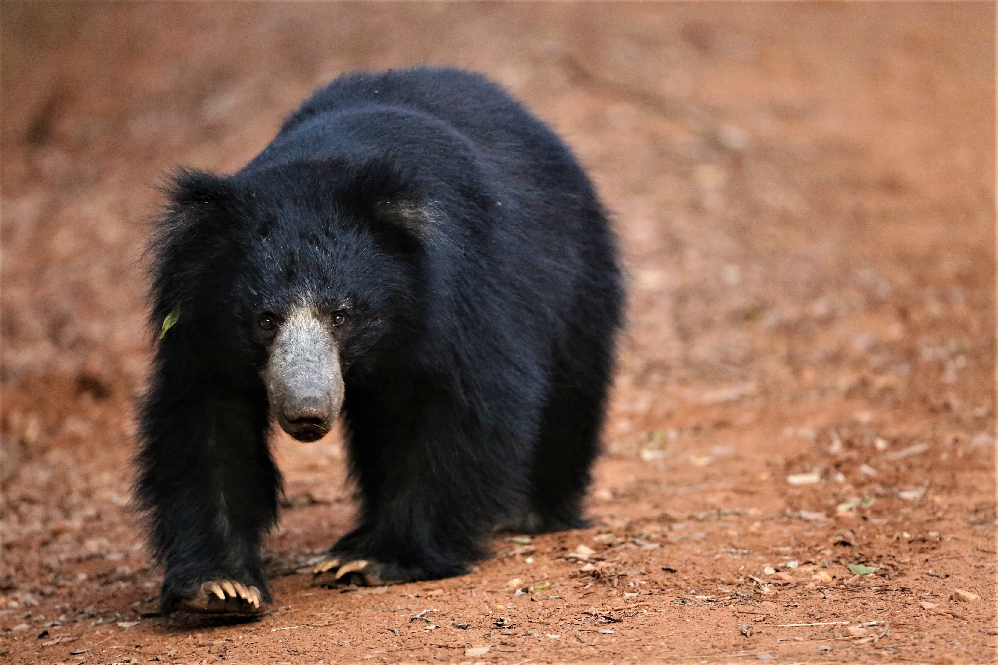 A sloth bear is spotted during a Sri Lankan safari.
