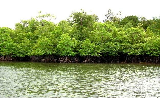 29 Fungsi Hutan Bakau Bagi Konservasi Pantai dan Daerah Pesisir