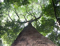 pohon meranti