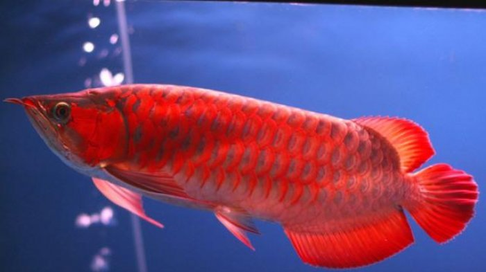 7 Ikan Predator Air Tawar yang Sering Dijadikan Ikan Hias