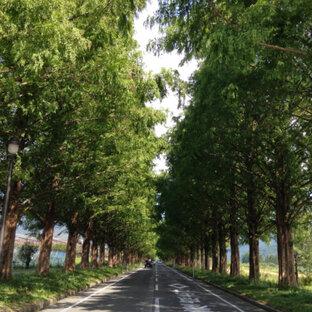 マキノ メタセコイア並木