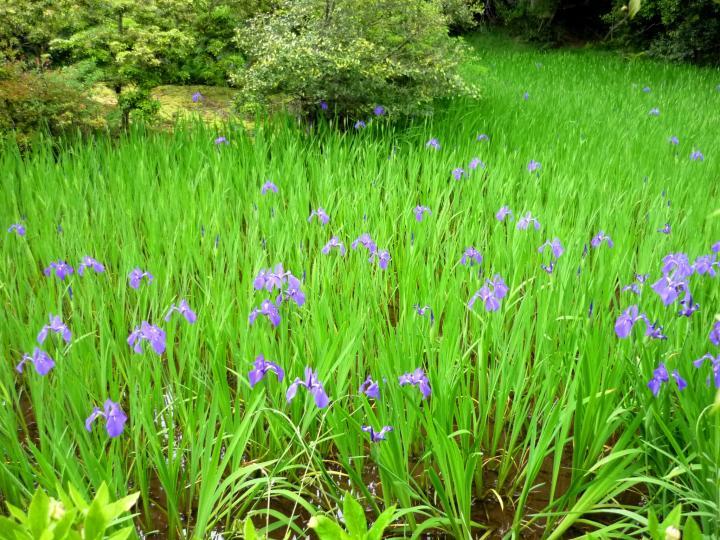 深紫のカキツバタが彩る花名所「大田神社」
