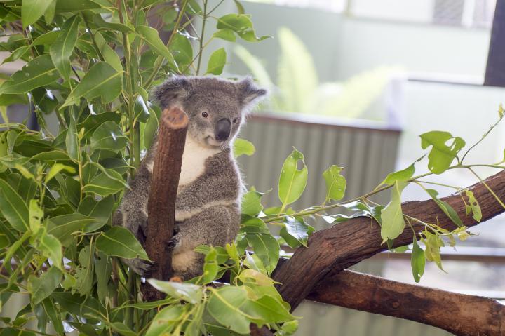 念願のコアラ抱っこができる場所