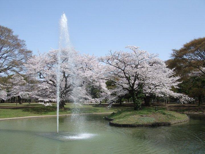 芝生の上で広い青空と桜のコントラストを楽しめる代々木公園