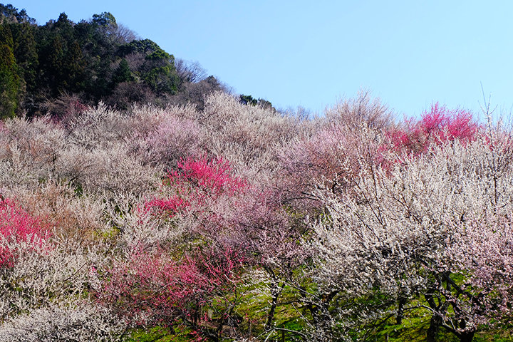 TAKAOエリアに広がる約1万本もの梅林「高尾梅郷」へ