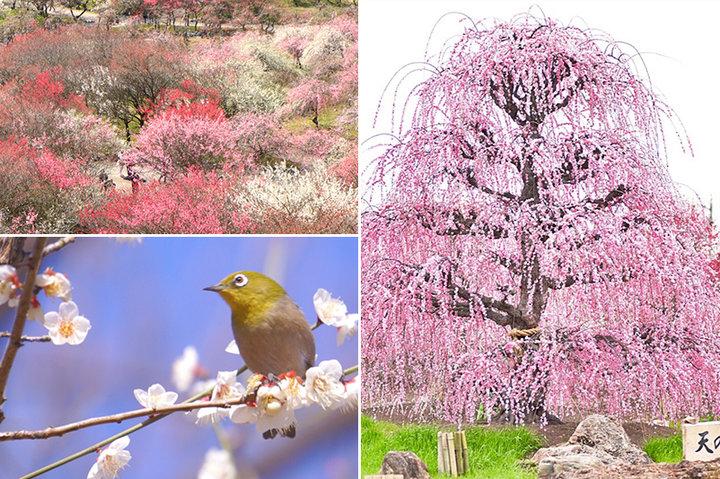 初春を感じる香りに誘われて。全国の観梅スポット|ことりっぷフォト