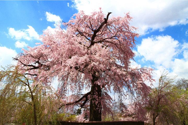 お花見ピクニック♪フード&ドリンク持ち込みOKの、大阪・京都のお花見スポット8選
