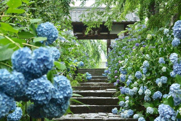 【夏】紫陽花に囲まれて、石畳の参道を歩こう♪