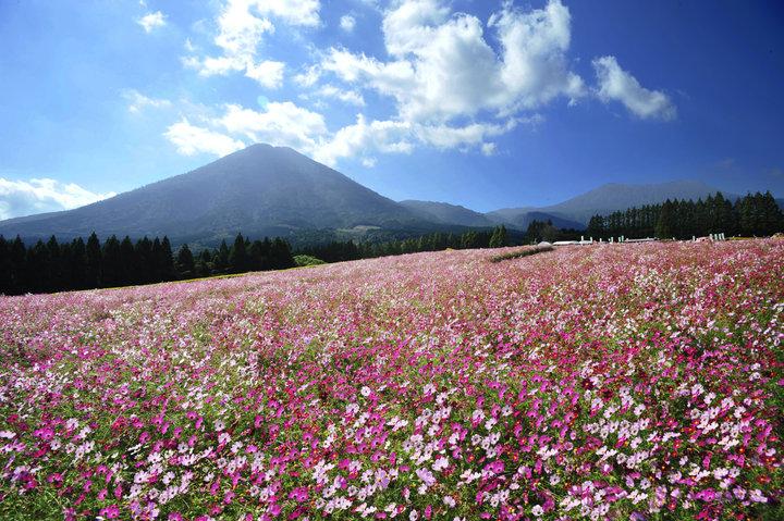 高原をピンク色に染めるコスモスの花畑へ
