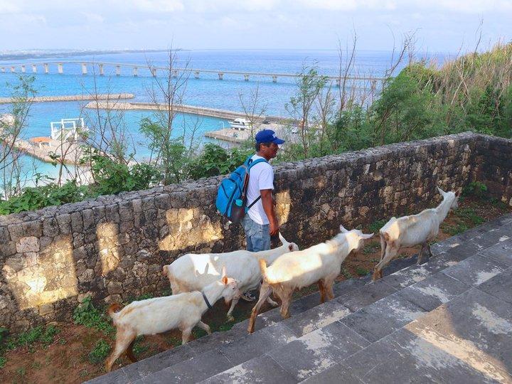 人口約170人の来間島で「やぎさんぽ」
