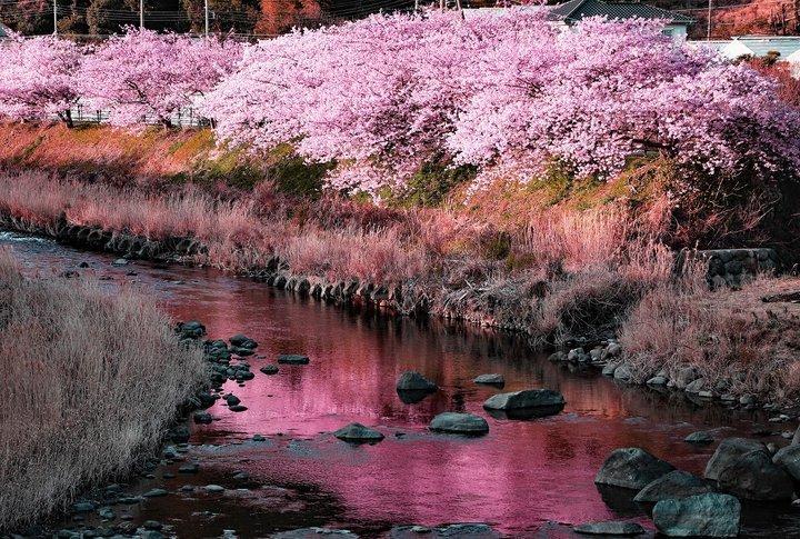 【おまつり】静岡・河津川沿い「第30回 河津桜まつり」