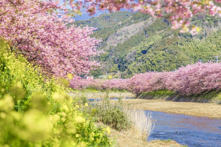 3月10日までは河津桜も見ごろです