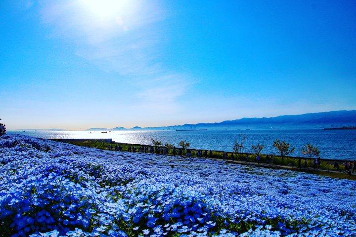 関西最大規模!約100万株のネモフィラが咲き誇る