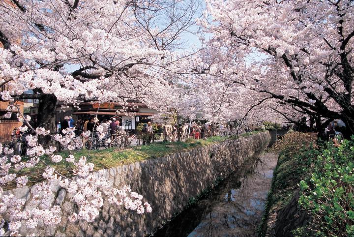 桜舞う春の哲学の道 お花見さんぽ
