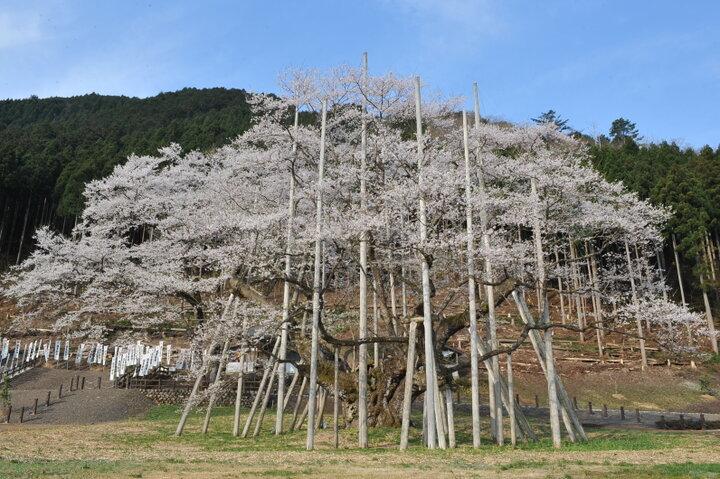 【岐阜県本巣市】危機を乗り越えて咲き続ける「根尾谷淡墨桜」