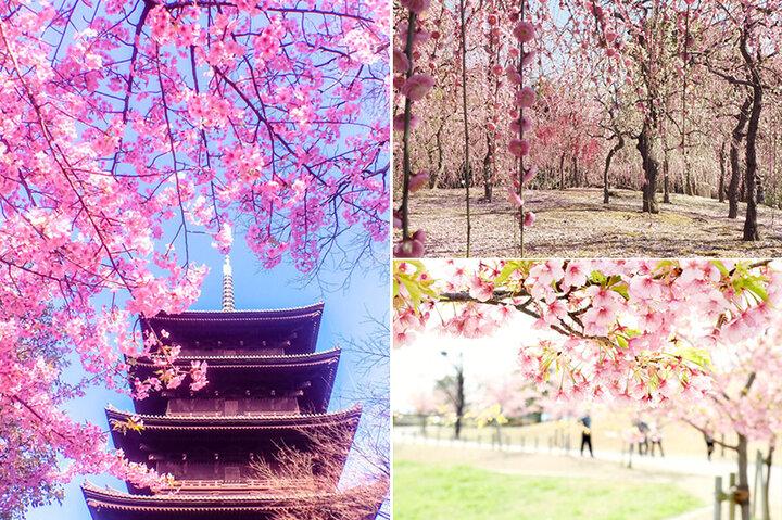 国宝に彩りを添える河津桜や京都屈指の梅まで♪春めく景色に誘われる京都&奈良の名所