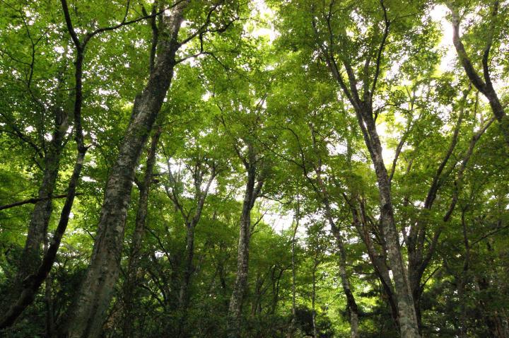 ブナの原生林が広がる神秘的な森をウォーキング