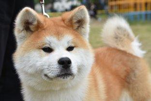キュートな秋田犬にふれあえるスポットがオープン、秋田をのんびりさんぽ