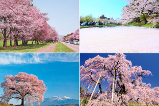 7kmも続く静内の桜並木から、愛され続ける古木・根尾谷の淡墨桜まで!東日本の桜の名所7選