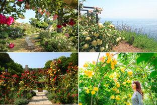海を一望できる丘陵地にバラが咲き誇る「熱海ローズフェスティバル」