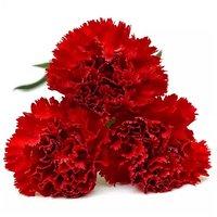 Carnation, 7-Stem, 1 Each