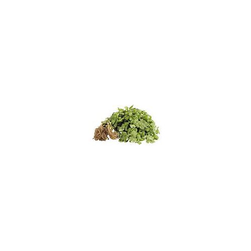 Curly textured herb with a delicious taste used for cooking.