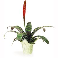 Bromeliad Bromeliad - Potted Plant 6in, 1 Each
