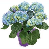 Hydrangea Hydrangea - Flowering Plant 6in, 1 Each