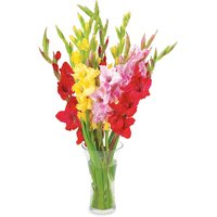 Save-On-Foods - Floral - Gladiolus Bunch, Assorted