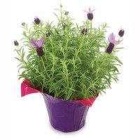 Lavender Lavender - Potted Plant, Fresh, 1 Each