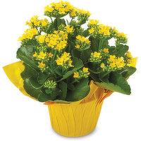 Kalanchoe Kalanchoe - Flowering Plant 6inch, 1 Each