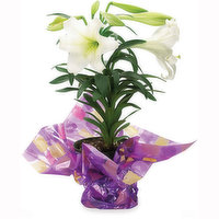 Easter Lily Easter Lily - Flowering Plant 6in, 1 Each