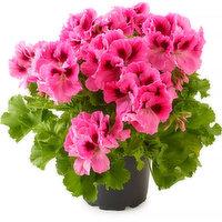 Pelargonium Pelargonium - Flowering Planter 6in, 1 Each