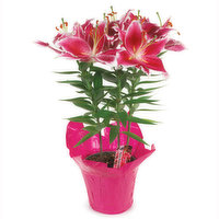 Oriental Lily Oriental Lily - Potted, 6 inch, 1 Each