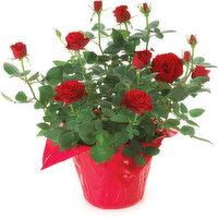 Mini Rose Mini Rose - Flowering Planter 6in, 1 Each