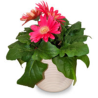 Assorted color gerbera plant. Great for Easter. Available while quantities last.