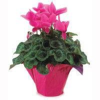 Cyclamen Cyclamen - Flowering Plant 6in, 1 Each